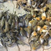 Fermata la mattanza di colombi e pettirossi nel Casertano: uccisi più di