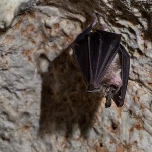 Campi flegrei, a rischio una colonia di pipistrelli nella Grotta di Cocceio