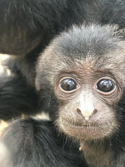 """""""Diamo un nome al cucciolo di siamango"""": il sondaggio su Facebook dello zoo di Napoli"""