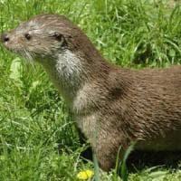 Potenza, il Parco nazionale dell'Appennino Lucano raccaforte della lontra