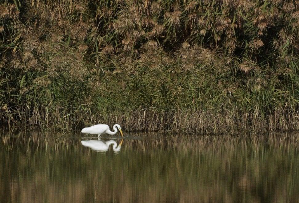 Oasi di Persano, l'airone bianco come Narciso