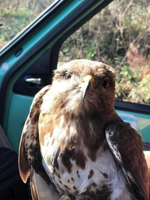 Potenza, poiana ferita viene salvata da un passante nel Parco nazionale dell'Appennino lucano Val d'Agri Lagonegrese