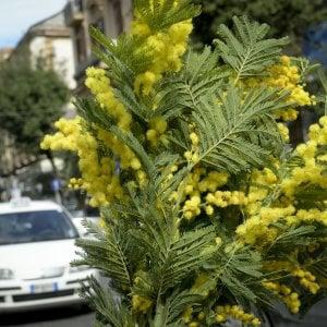 8 marzo, sequestrati 80 chili di mimose abusive nel beneventano