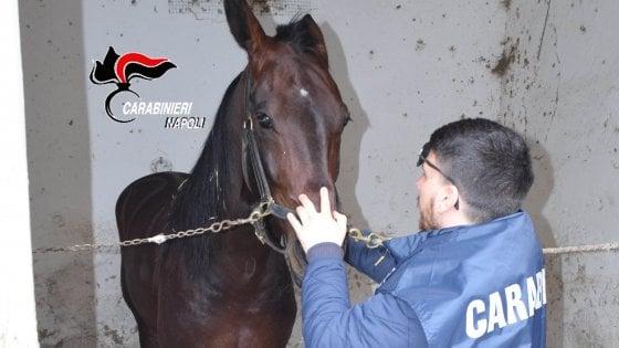 Scoperto un cavallo da corsa dopato in una competizione sportiva nell'ippodromo di Aversa
