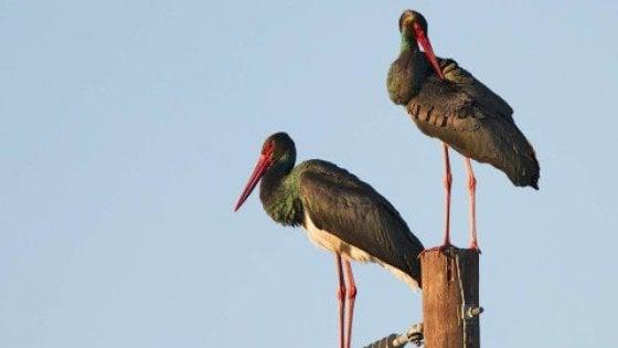 Potenza, il ritorno della cicogna nera nel Parco dell'Appennino lucano