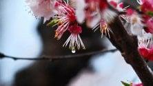 Palinuro, fiori di pesco tra la pioggia: lo scatto che racconta l'insolita primavera