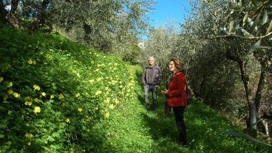 Gli ulivi di Mariachiara nella campagna di Posillipo