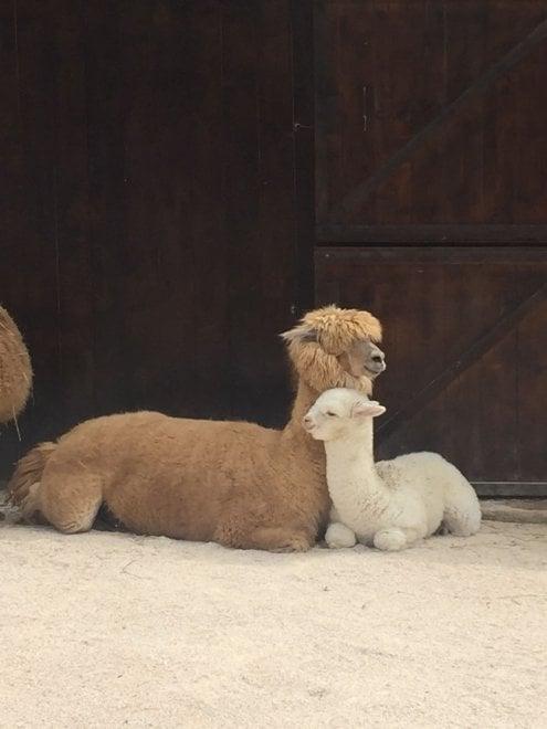 E' nato un cucciolo di alpaca allo zoo di Napoli, il nome si sceglie sui social