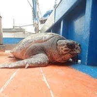 Punta Campanella, quattro tartarughe pronte a riprendere il mare
