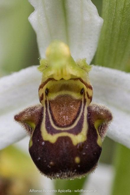 Eboli, ritratti di orchidee, a  tu per tu con la primavera