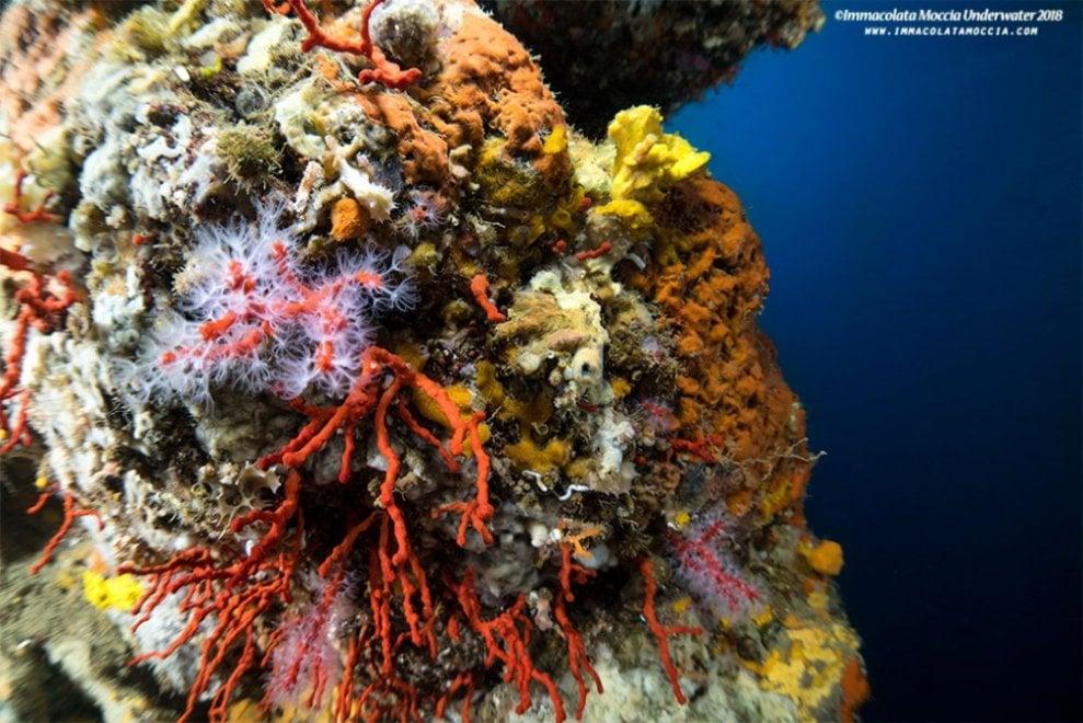 Procida, la meraviglia del corallo rosso: il paradiso sommerso di Punta Pizzaco