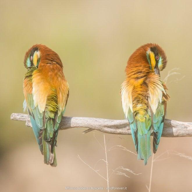 I colori dei gruccioni in volo nel Salernitano