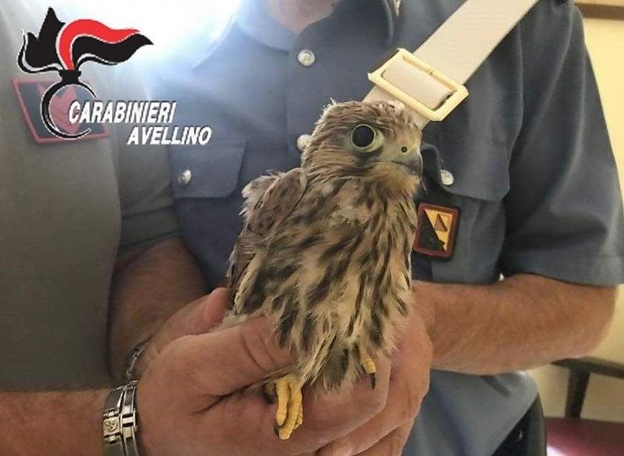 Un piccolo falco salvato dai carabinieri in Irpinia