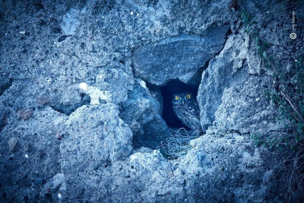 Occhi sbarrati aspettando la notte: fa capolino la civetta del Vesuvio