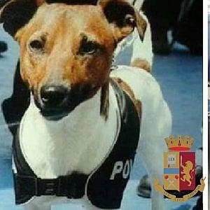 Capri, l'infallibile fiuto di Pocho, cane antidroga: scoperte dosi e piante di marijuana