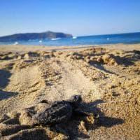 Palinuro, la corsa della tartarughina verso il mare
