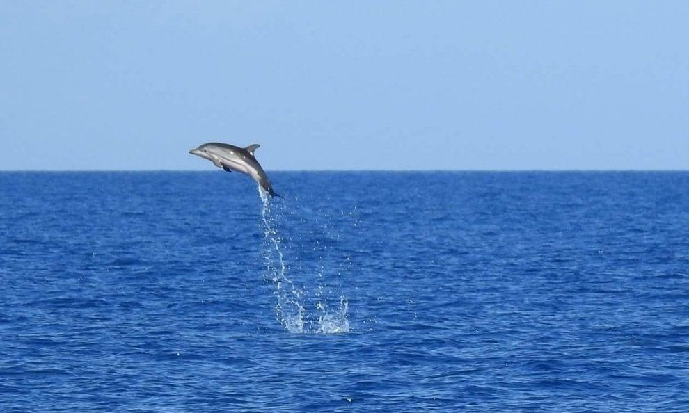 Ischia, il fotografo coglie l'attimo: il salto della stenella è un inno al mare