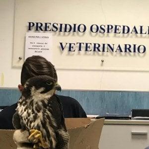 """Falco ucciso dai bracconieri """"per divertimento"""""""