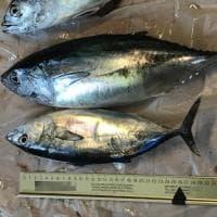 Sorrento, sequestro di tonno rosso sotto misura