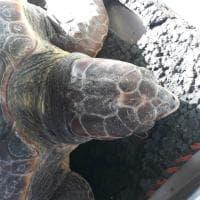 Capo Miseno, la tartaruga Fortunella intrappolata da una corda: salvata in extremis