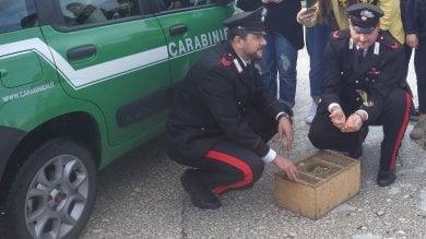 Bracconieri di Capua straziano  due  cardellini per catturarne 24