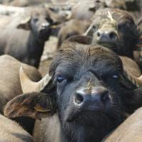 Vaccino antibrucella a bufale sane, assolto allevatore