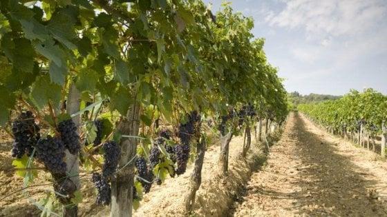 Cilento, terreni comunali ai giovani per recuperare il vino dei Papi