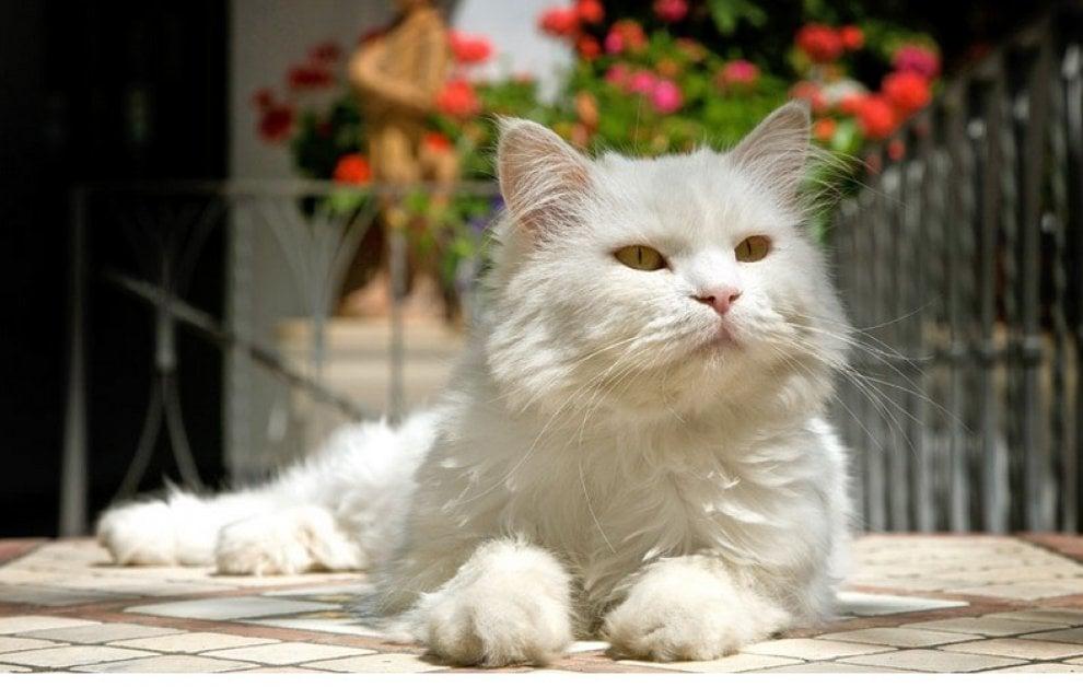 Capri, addio a Matisse, il felino icona dell'hotel Gatto Bianco