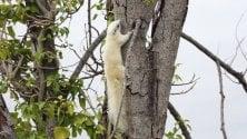 Cilento, la foto è virale: tutti pazzi per lo scoiattolo bianco