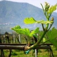 Città europea del Vino, cerimonia a Napoli per l'investitura del Sannio-falanghina