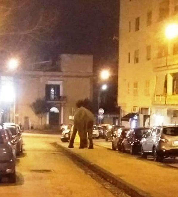 """Elefante per strada a San Giorgio a Cremano. Zinno: """"No al circo, in arrivo sanzioni"""""""
