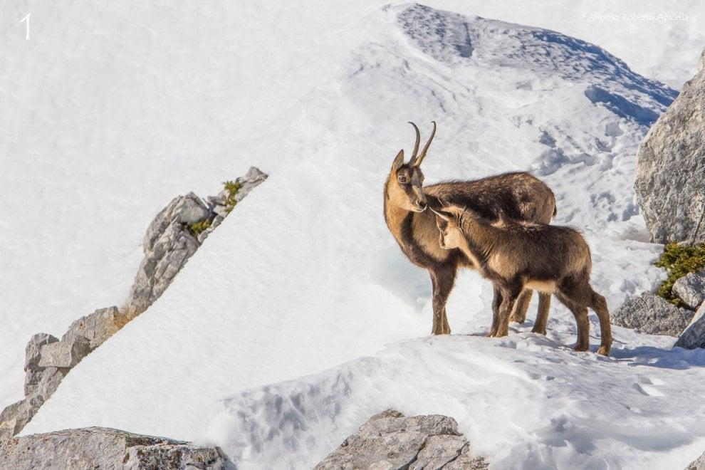 Camosci, fenicotteri e orsi: le foto più belle dei fotografi naturalisti campani