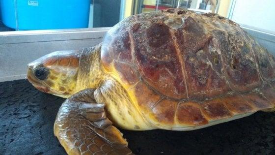 Cilento, la tartaruga uccisa dai rifiuti: il suo stomaco pieno di plastica