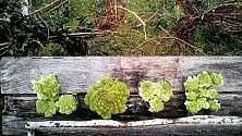"""""""Love"""" scritto con i cavoli: a Ischia l'amore è green"""