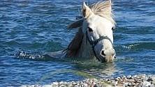 Un bagno fuori stagione per la mandria dei cavalli