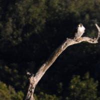 Cilento, il riposo del falco pellegrino sulla Costa della Masseta