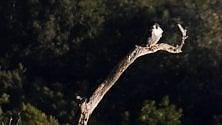 Il riposo del falco pellegrino sulla Costa della Masseta