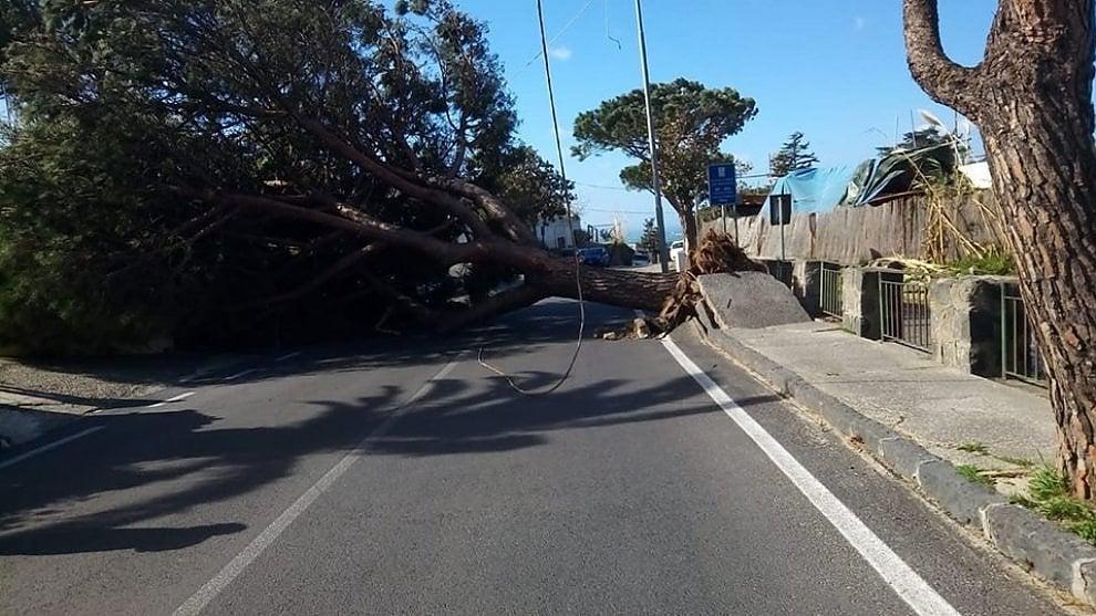 Maltempo a Ischia, grande pino crolla sulla carreggiata: tragedia sfiorata sulla Borbonica