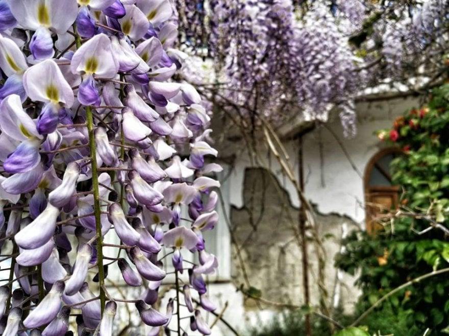 Ischia, il glicine in zona rossa: la primavera sui luoghi del terremoto