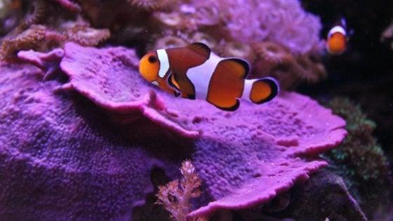 """""""Lunga vita a Nemo"""", uno studio rivela il segreto della longevità dei pesci pagliaccio"""