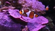 Uno studio rivela    il segreto della longevità dei pesci pagliaccio