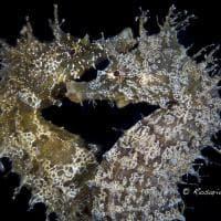 """Punta Campanella, i cavallucci marini """"flirtano"""": premiata la foto di Rosario Scariati"""