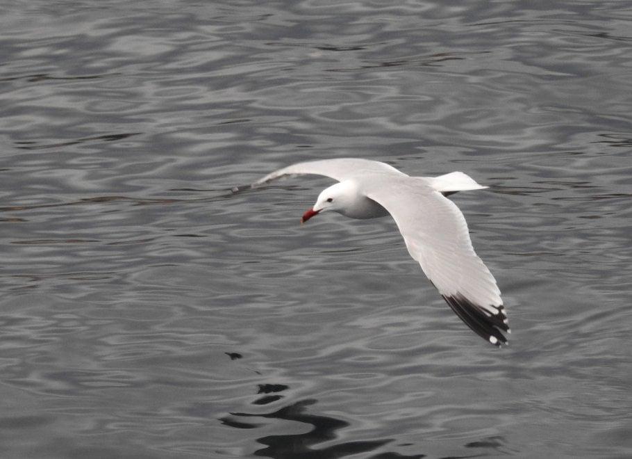 Rilancio naturalistico a Bagnoli: arrivano i gabbiani corsi