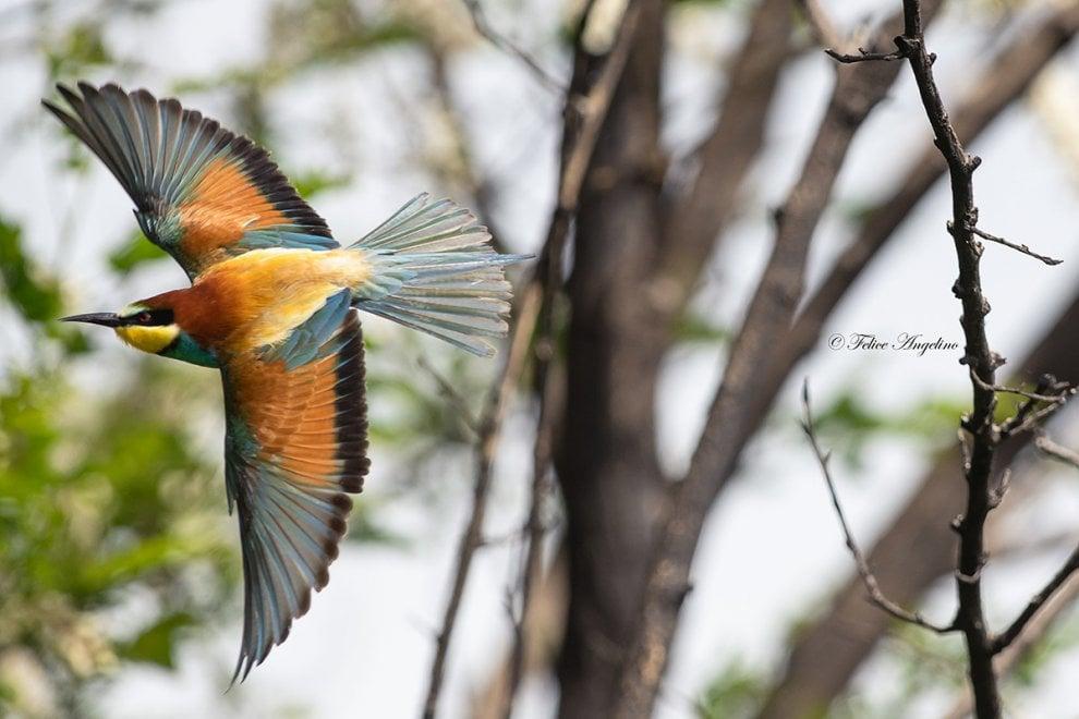 Arrivano i gruccioni: gli uccelli arcobaleno in volo sul litorale domitio