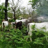 Nel Cilento va in scena la transumanza, festa in montagna con pastori e turisti