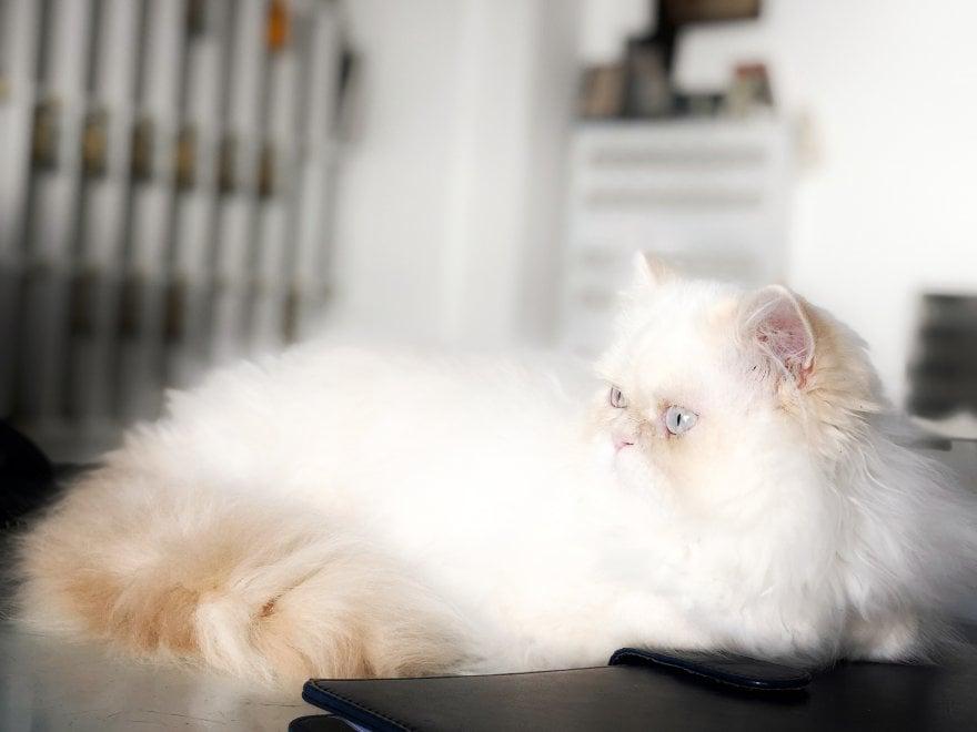 """Capri, ecco il nuovo gatto bianco: si chiama Mirò, la """"dinastia"""" continua"""