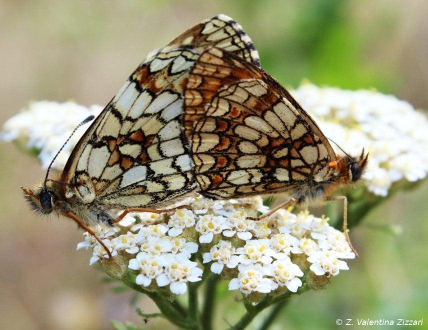 """Agerola, le farfalle del Sentiero degli dei in copertina su """"Animal Biology"""""""