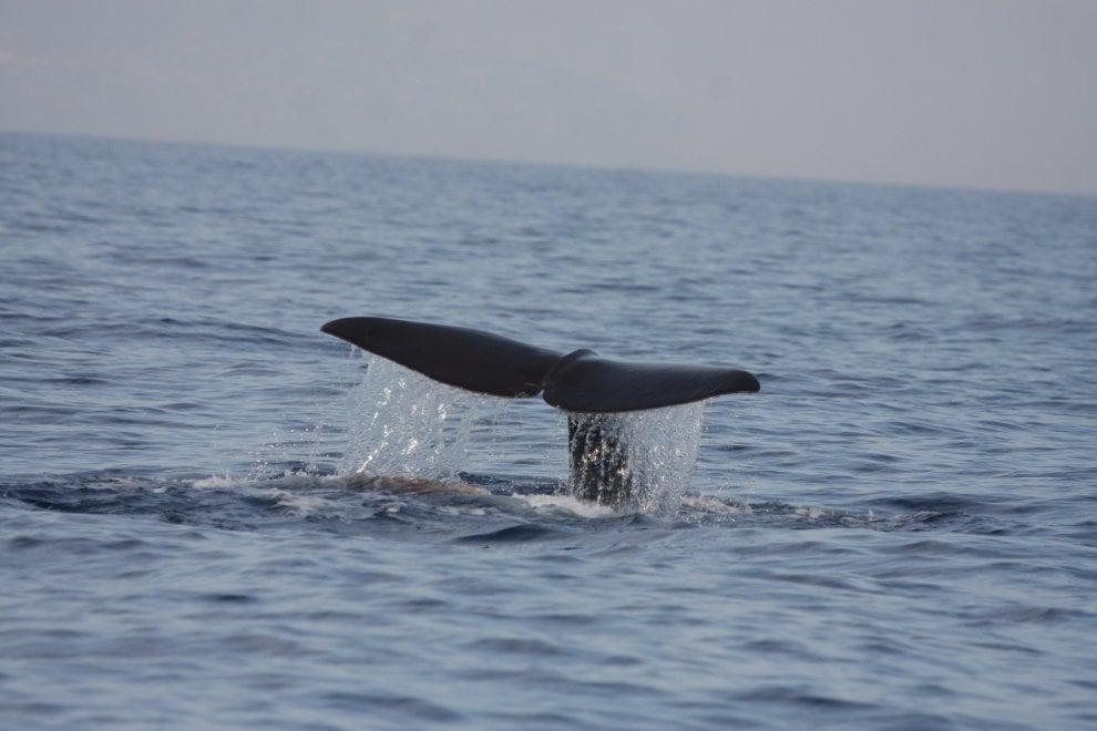 Ischia, riecco i capodogli: super avvistamento al largo di Punta Imperatore