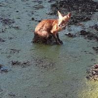 La piccola volpe salvata dai giardinieri di Capodimonte