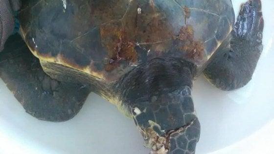 Punta Campanella, morta la tartaruga marina investita da una barca al largo di Capri